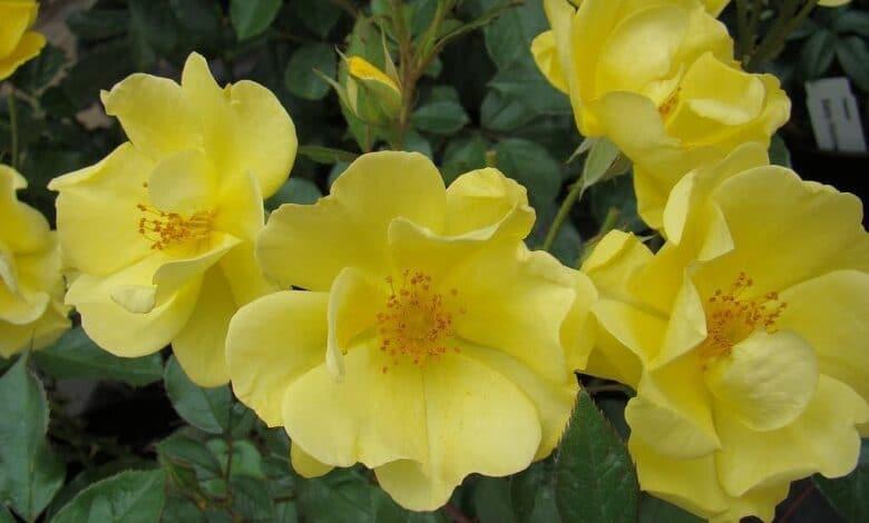 once-Yellow Fleurette
