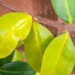 Clorosis en plantas