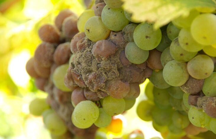 podredumbre gris en las uvas